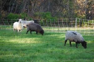 dunn creek sheep